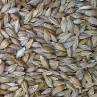 barley grass seed