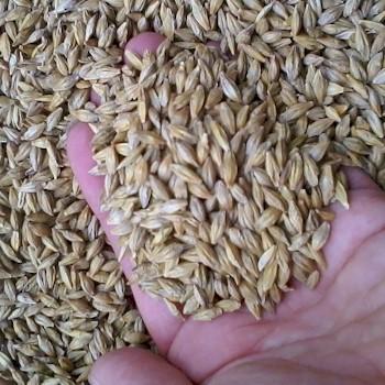 barleygrass seed