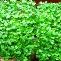 Buckwheat Lettuce Greens From Brow Farm Ltd