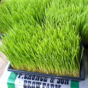 wheatgrass in trays