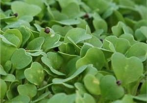 Yellow Mustard Seed Microgreens