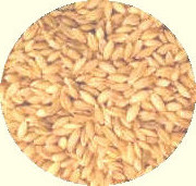 Whole Grain Milling Barley for Flour Making Grown in Lancashire